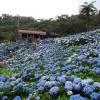 梅雨の時期の沖縄観光におすすめ よへなあじさい園