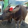 水牛車に乗るなら竹富島と西表島の由布島どっちがおすすめ?