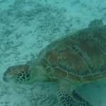 沖縄でウミガメを見たいなら渡嘉敷島・とかしくビーチがおすすめ!